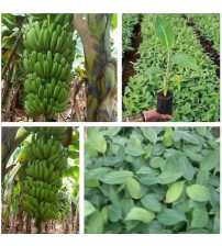 Balaji Tissue Culture Banana Plants - Grand-9 (Polybag)