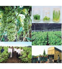 Jain Tissue Culture Banana Plants